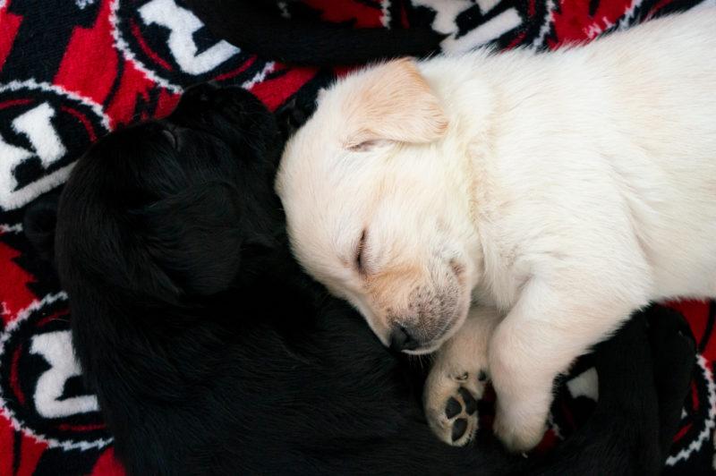 Le ROUGE et NOIR annonce un partenariat avec les chiens-guides canadiens pour aveugles